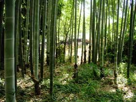 大宮の竹林